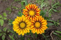 Tre fiori di Gazania Immagine Stock