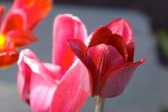 Tre fiori differenti del tulipano immagine stock libera da diritti