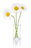 Tre fiori freschi della camomilla in un vetro di acqua Fotografia Stock