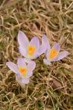 Tre fiori malva pallidi del croco ed erba secca Fotografia Stock