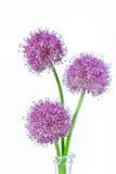 Tre fiori porpora dell'allium su fondo bianco Fotografie Stock