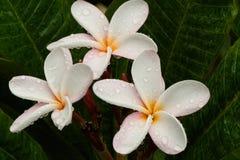 Tre fiori rosa-chiaro del frangipane con i centri dell'oro fotografia stock