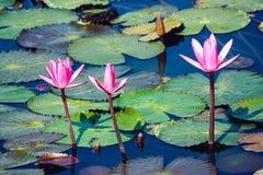Tre fiori rosa del bloosom su uno stagno fotografia stock