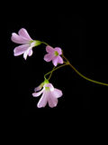 Tre fiori rosa su fondo scuro Fotografie Stock Libere da Diritti