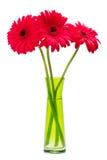 Tre fiori rossi di Gerber, margherite del gerbera Immagini Stock Libere da Diritti