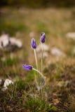 Tre fiori selvaggi Fotografia Stock