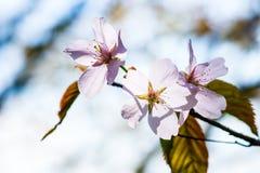 Tre fiori soleggiati della ciliegia Fotografie Stock Libere da Diritti