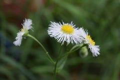 Tre fioriture del fiore dell'erbaccia circondate da verde fotografie stock
