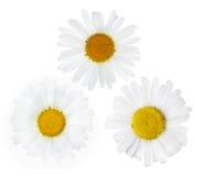 Tre fioriture fini del fiore della camomilla su bianco Fotografie Stock Libere da Diritti