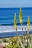 Tre fioriture gialle di vera dell'aloe Fotografie Stock Libere da Diritti