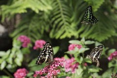 Tre fjärilar arkivfoton