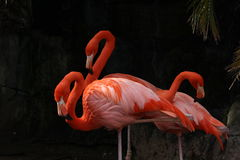 Tre flamingo Arkivfoton