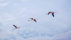 Tre flamingo som i rad flyger Arkivbilder