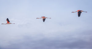 Tre flamingo som i rad flyger Royaltyfria Foton