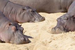 Tre flodhästar som vilar, Sydafrika (flodhästamphibiusen) Fotografering för Bildbyråer