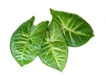Tre fogli verdi su bianco Immagini Stock