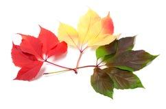Tre foglie delle stagioni differenti isolate su fondo bianco Immagine Stock