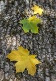 Tre foglie di acero Fotografia Stock