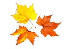 Tre foglie di acero Fotografia Stock Libera da Diritti