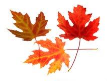Tre foglie di acero su bianco Fotografie Stock Libere da Diritti