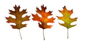 Tre foglie di caduta. Isolato. immagini stock