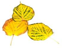 Tre foglie multicolori di autunno Fotografia Stock
