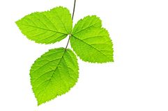 Tre foglie verdi Fotografia Stock