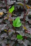 Tre foglie verdi fresche fra la porpora un Immagine Stock