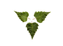 Tre foglie verdi sistemate Immagine Stock Libera da Diritti