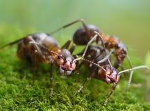Tre formica rufa delle formiche Immagine Stock