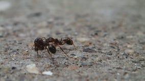 Tre formiche archivi video