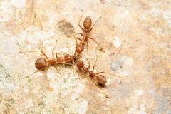 Tre formiche rosse contribuiscono insieme a prendere la preda Immagini Stock