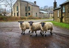 Tre får i stad Fotografering för Bildbyråer