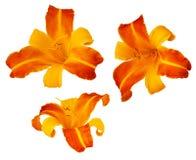 Tre Frans Hals bicolored daylillies som isoleras på Royaltyfria Bilder