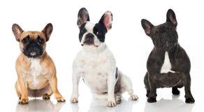 Tre franska bulldoggar Arkivbilder