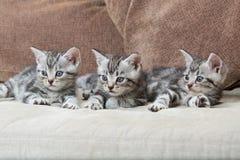 Tre fratelli del gattino Fotografia Stock