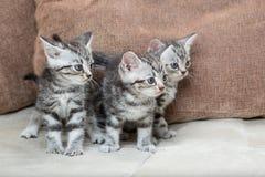 Tre fratelli del gattino Fotografie Stock