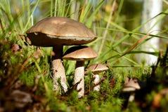 Tre funghi Fotografia Stock Libera da Diritti