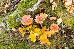 Tre funghi e foglie del fungo Fotografia Stock Libera da Diritti