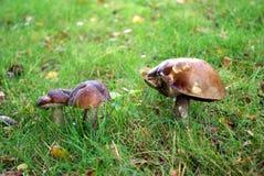 Tre funghi su un fondo di erba verde Fotografia Stock