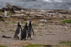 Tre pinguini magellanic Immagine Stock