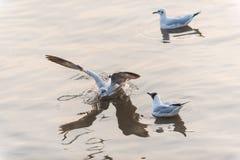 Tre gabbiani che galleggiano sull'acqua, uno di loro atterraggio Fotografia Stock