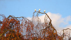 Tre gabbiani sul ramo di albero del salice in autunno Immagini Stock