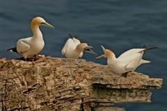 Tre Gannets Fotografie Stock