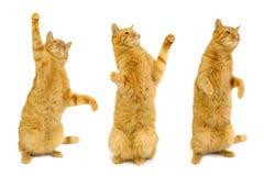 Tre gatti ballanti fotografia stock libera da diritti