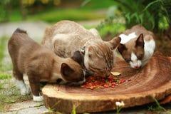 Tre gatti che mangiano cibo per gatti Immagini Stock
