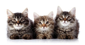 Tre gatti lanuginosi su un fondo bianco. Immagine Stock Libera da Diritti