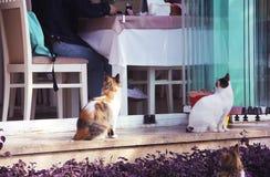 Tre gatti lanuginosi variopinti della via si siedono vicino al ristorante immagine stock