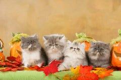 Tre gatti persiani nella decorazione di autunno Immagini Stock Libere da Diritti