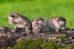 Tre gatti selvatici del bambino (rufus di Lynx) hanno allineato sul ceppo Fotografie Stock